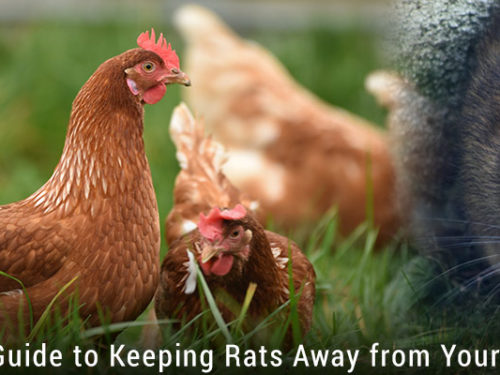 The Ultimate Guide to Keeping Rats Away from Your Chicken Coop
