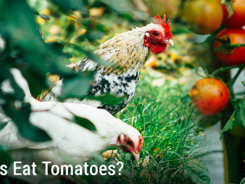 Can Chickens Eat Tomatoes?