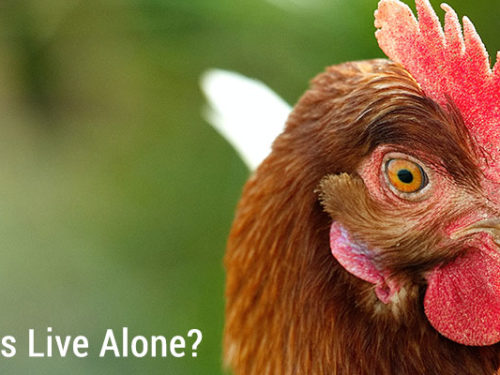 Can Chickens Live Alone?
