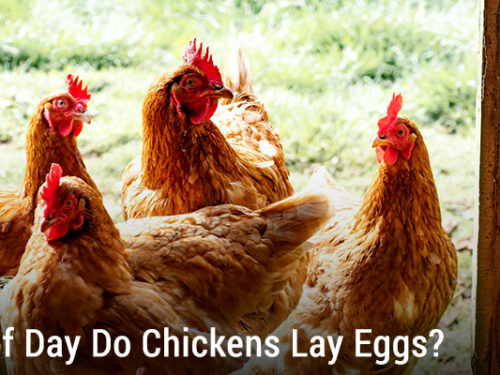 What Time of Day do Chickens Lay Eggs?